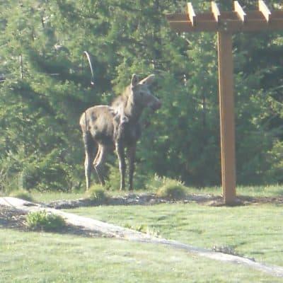 Denison Ridge… Good Morning Moose