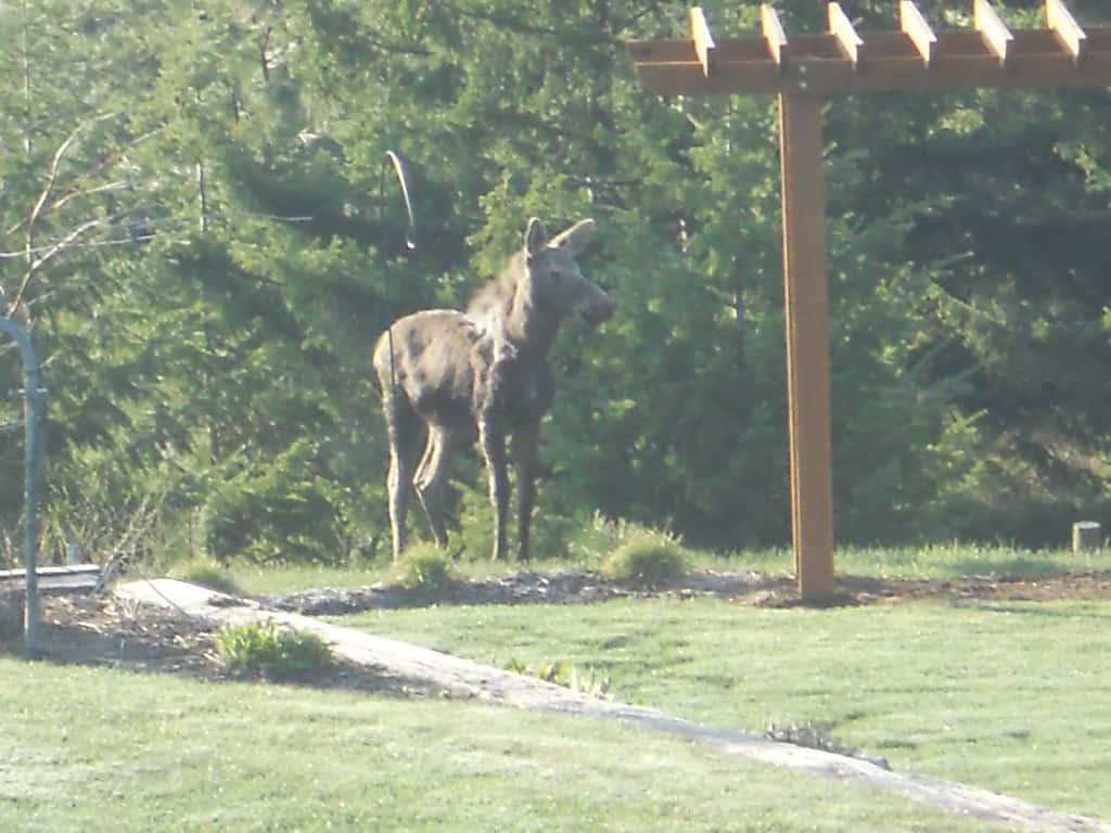 Denison Ridge... Good Morning Moose